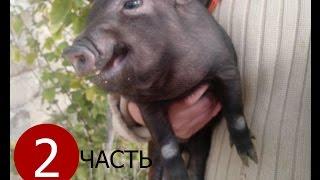 Вьетнамские свиньи. История одного семейства. Продолжение.Vietnamese pigs.