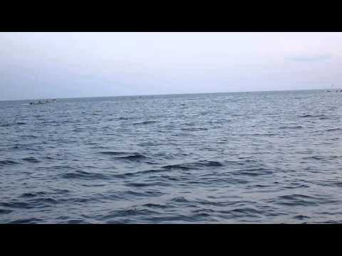 Swarms of dolphins in the Gulf of Aden 2