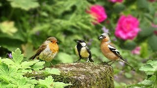 Videos for Cats to Watch : Birds in The Rose Garden