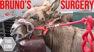 BRUNO'S SURGERY | Donkey Teeth Extraction and Vet checkup | This Esme