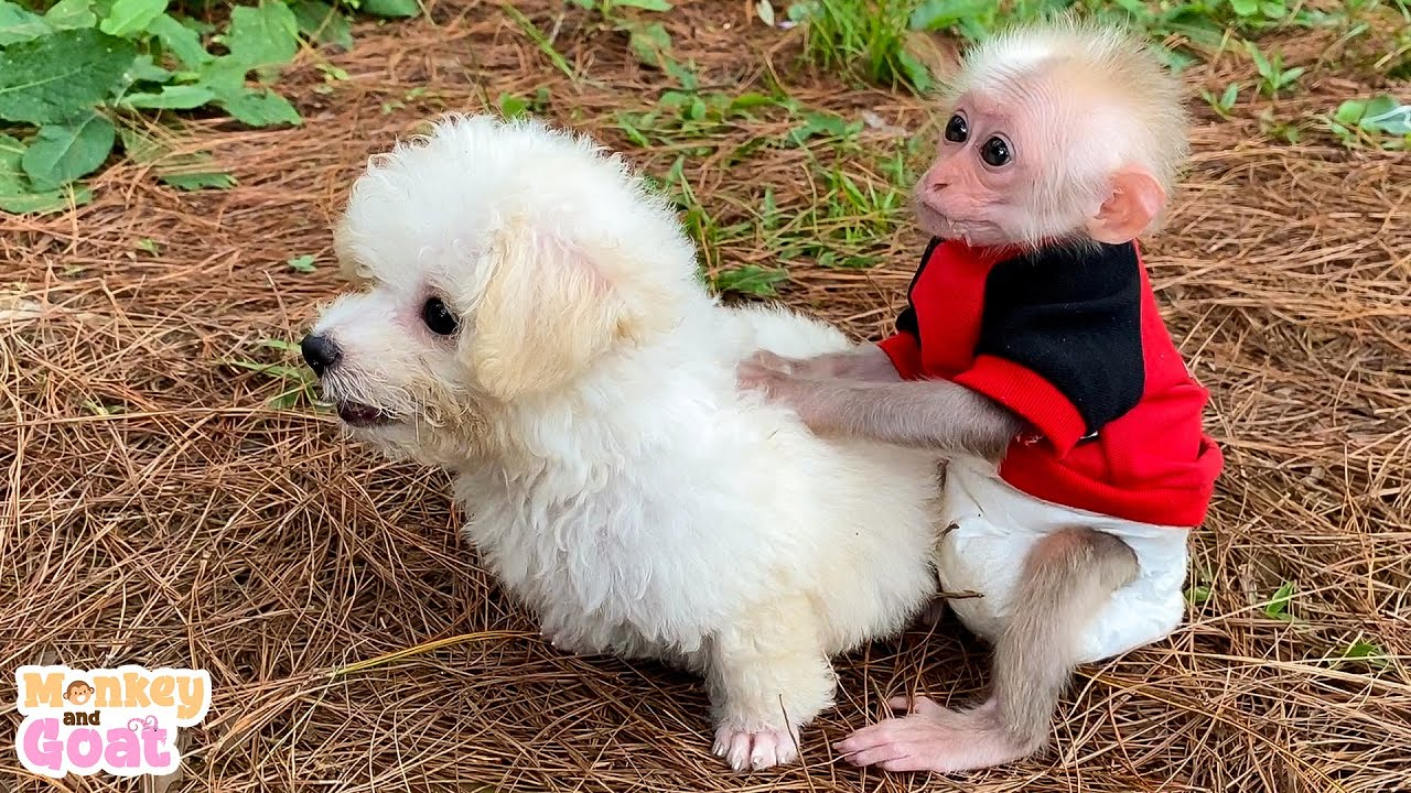 Cutest Poodle Puppy and Baby Monkey To Make Your Day