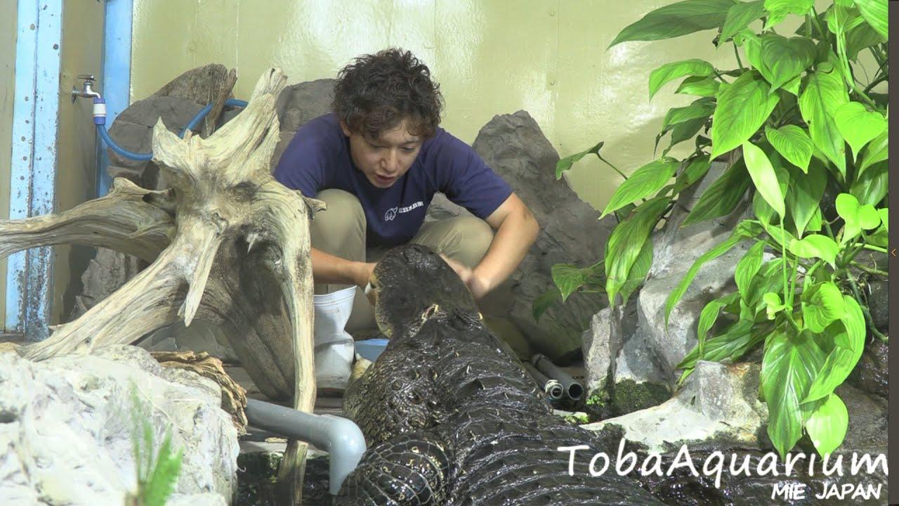《鳥羽水族館》 ワニの給餌 (Feeding the American Alligator)