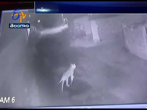 Lions Caught on Camera | Roaming Freely at Rampur in Amreli | Gujarat