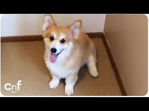 Corgi Plays Hide and Seek | Funny Animal Games