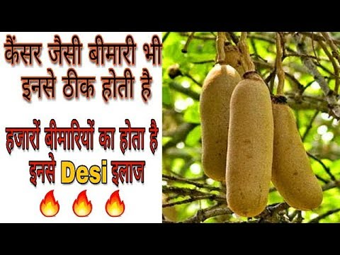 बालम खीरा - करोड़ों के इस फल के फायदे देखकर दंग रह जाओगे | Balam Kheera ke Fayde ( Kigelia) thumbnail