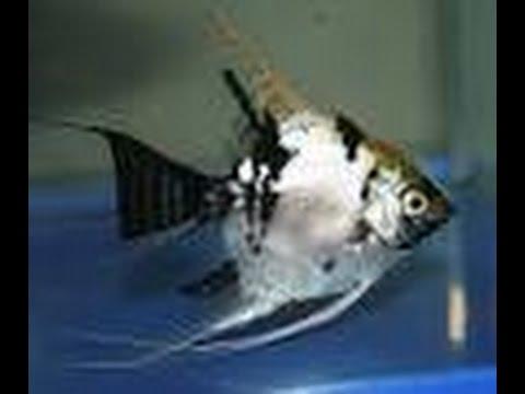 My First Aquarium Manish Angelfish Ikan Layang Youtube