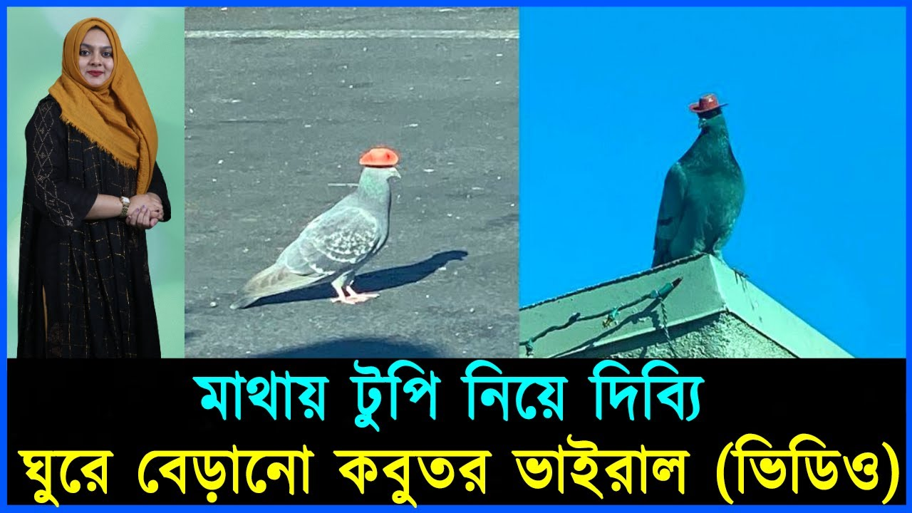 Download মাথায় টুপি নিয়ে দিব্যি ঘুরে বেড়ানো কবুতর ভাইরাল (ভিডিও) | Mojar khobor | মজার খবর | Pigeon walking