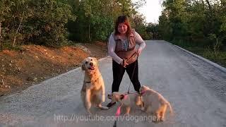 Первая прогулка щенка золотистого ретривера