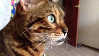 Бенгальский кот Симон