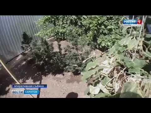 Житель Новоузенска использовал приусадебный участок как конопляное поле
