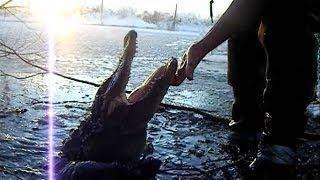 Alligators in frozen swamp