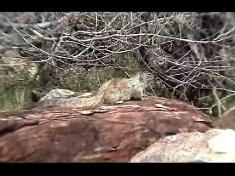 """Grand Canyon Rock Squirrels. Vol. 2  """"Squirrel Cam"""""""