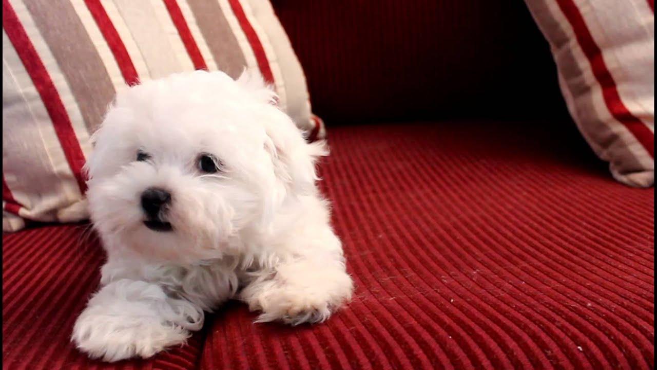 11 Week old Fanfare Maltese Puppy