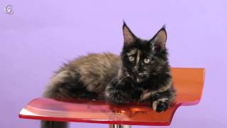 Кошка мейн кун Jingle Bells Grey Claw`s 6 месяцев http://coonplanet.ru/