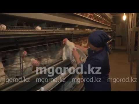 Около 200 тысяч яиц в день выпускает Уральская птицефабрика