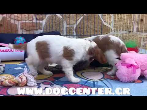 King Charles cavalier males available