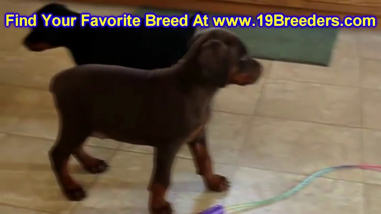 Doberman Pinscher Puppies Dogs For Sale In Columbia South