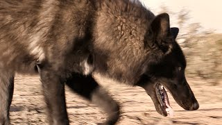 Outside With My Wolf, Kangal, Doberman, & Egyptian Dog