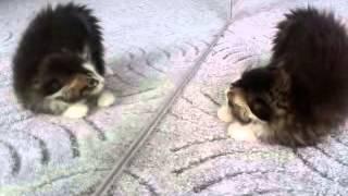 Котенок и зеркало / Kitten & Mirror