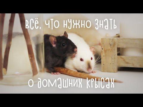 Вся правда о домашних крысах