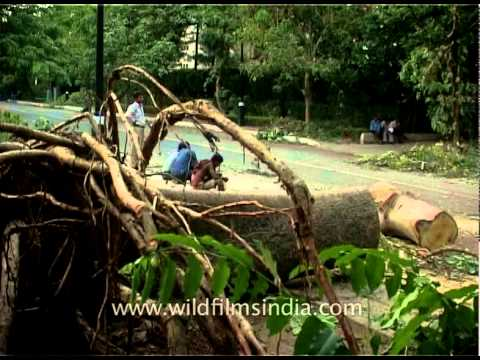 Tree fallen on a Delhi road due to cementing and concretization