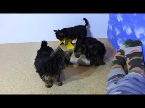 Aktorka Lektorka Hodowczyni YORKÓW wady i urody yorków 888333433 dzwoń Yorkshire Terrier Mini Midi X