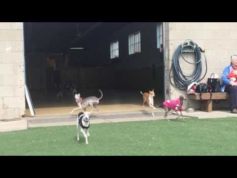 Italian Greyhounds at their Iggy play date!