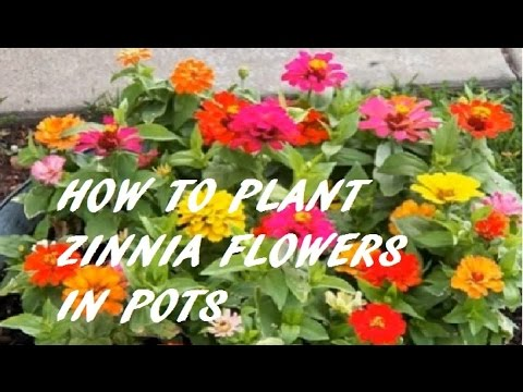 Delicieux Zinnias: How To Plant, Grow, And Care For Zinnia Flowers IIHOW TO PLANT ZINNIA  FLOWERS IN POTS II. Hobby Gardening