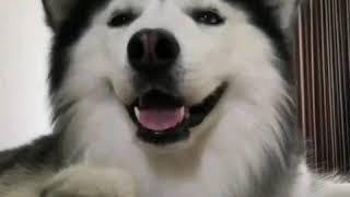 Хаски танцует ушами хорошее настроение, юмор, смешное видео, домашнее животное,