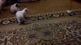 ПРОДАЖА котята RagDoll Кошка кукла 030
