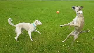 Double fail   dog hits ball into others head