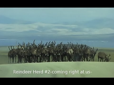 Reindeer Herds (2) On The Road To Teller~ Nome, Alaska https://youtu.be/qQ3iXwbWsaM