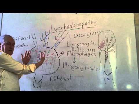 Lymphatics lesson 2, Lymph nodes and efferent lymphatic vessels