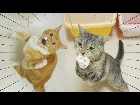 猫の元気すぎる紐遊び【猫 おもしろ】 / funny cat playing with thread energetically