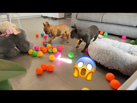 Dogs Home Alone with 100 BALLS