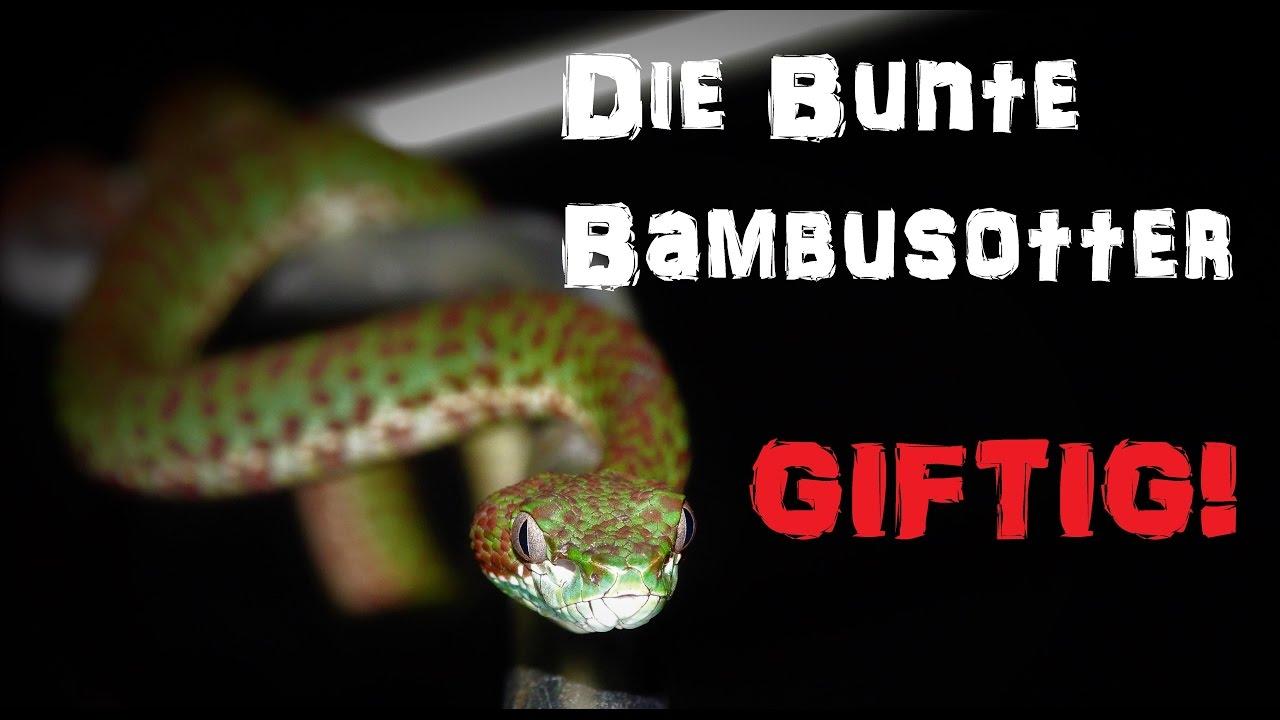 Giftschlangen Die Bunte Bambusotter Reptilien Und Amphibien