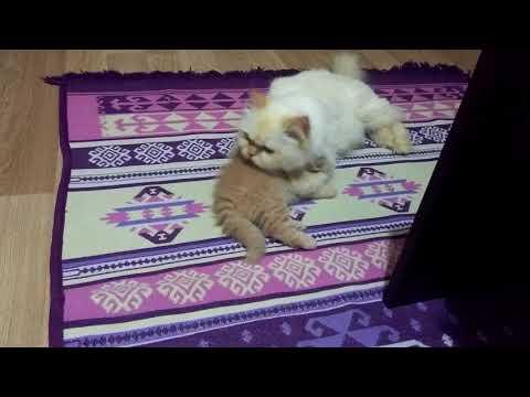 Yavrusunu temizleyen anne kedi (evde kedi bakımı)
