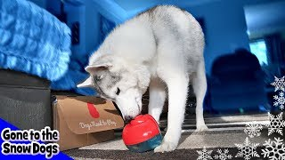 Husky Plays with Puzzle Toys | Dog Intelligence Test Toys | Kong Box Unboxing