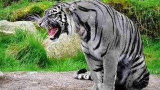 Paranormal Logs Maltese Tiger