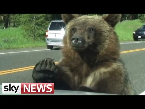 Thumbnail: Grizzly Bear Clambers Over Family Car