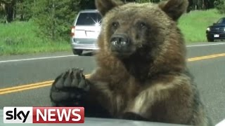 Grizzly Bear Clambers Over Family Car