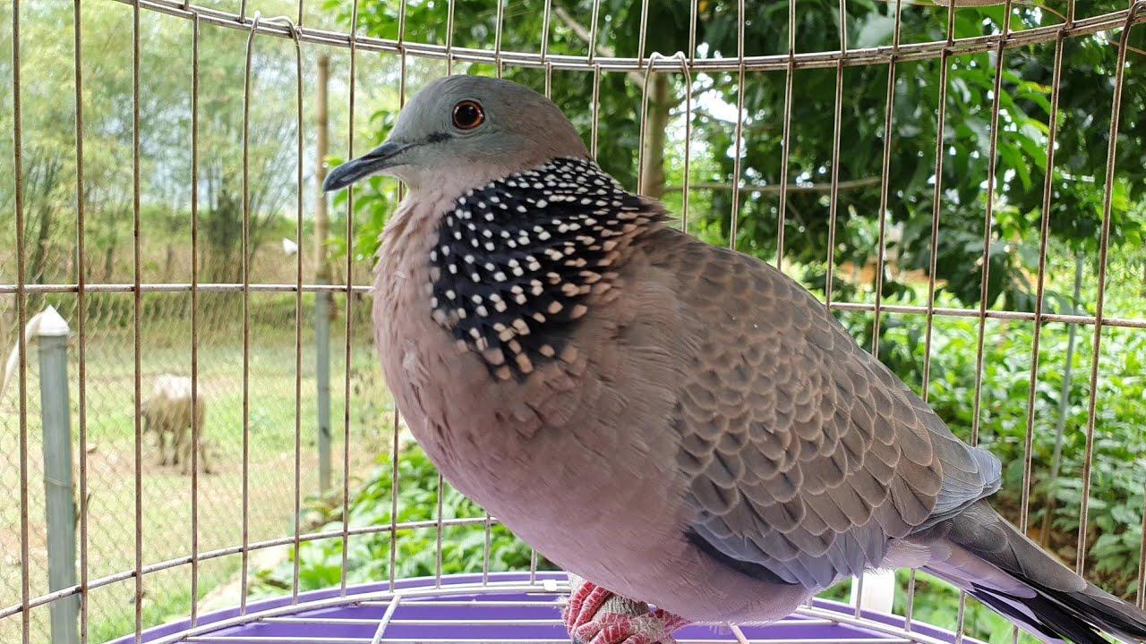 chim cu gáy cuckoo