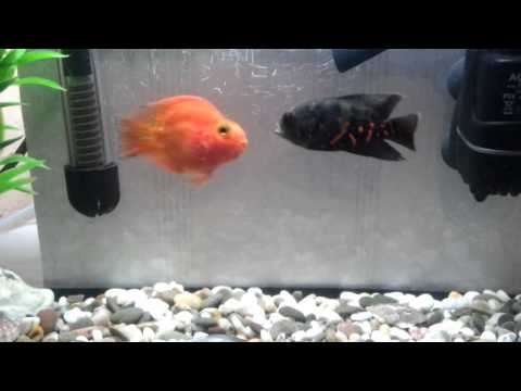 Fish fights. Part 1. Red Parrot vs Astronotus (Tiger oscar).