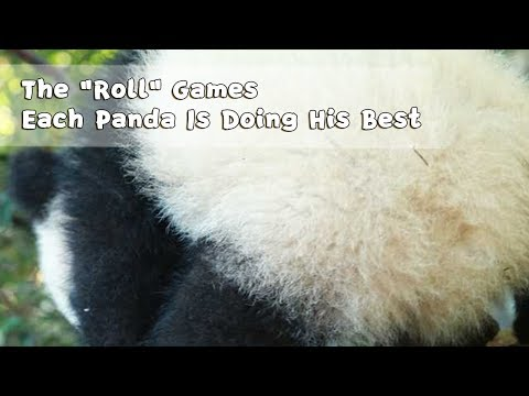 "The ""Roll"" Games Each Panda Is Doing His Best 