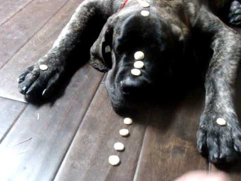 Month old english mastiff puppy knows quot leave it quot youtube