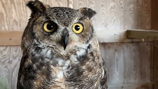 Dr. Laura Johnson and Great Horned Owl Robbie