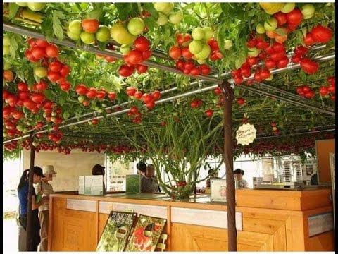 Giant Worlds Gest Tree Tomato