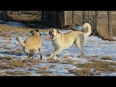 Boz & Anatolian Shepherd playing on warm January afternoon.