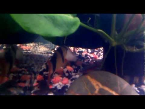 Clown Loach vs Dwarf Frogs
