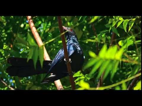 Birdsong Sounds 30 Minutes, Sri Lanka Dawn Chorus